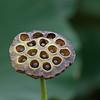 Lotus seed pod