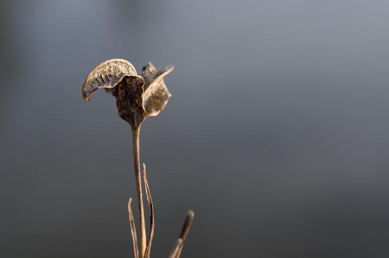 Iris seed pod in Winter