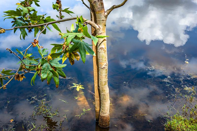 Flooded Sapling