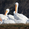 CC 116.  Pelicans in Morro Bay.