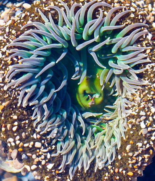 CC112.  Tidepool anemone.