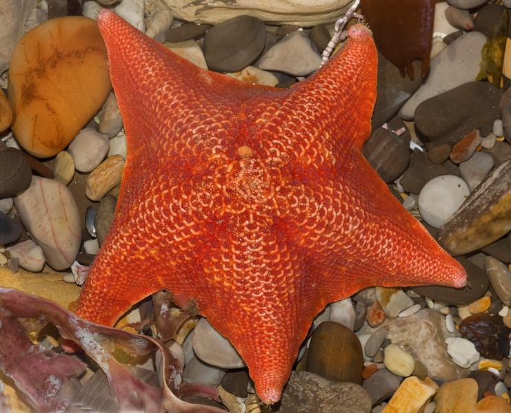 CC110. Starfish in tidepool.