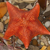 CC110. Starfish in tidepool.