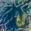 CC113.  Anemone closeup.