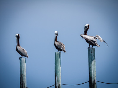 Pelican Friends