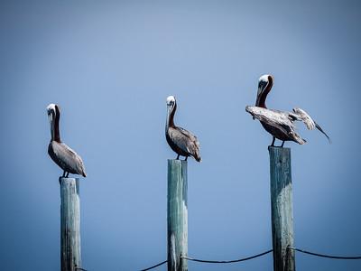 Pelican Friends