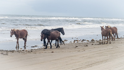 Corolla Beach Horses Corolla Beach, North Carolina