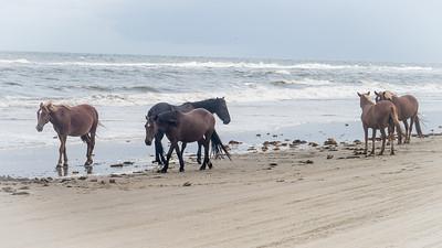 Corolla Beach Horses Corolla Beach, North Carolina