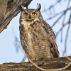 Great Horned Owl - Mate 1 of 2