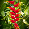 Hanging Lobster Claw Heliconia, Kauai, Hawaii