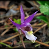 The Calypso orchid (Calypso bulbosa), also known as the fairy slipper or Venus's slipper, is a perennial member of the orchid family found in undisturbed northern and montane forests.  It is the only species currently classified in the genus Calypso, which takes its name from the Greek signifying concealment, as they tend to favor sheltered areas on conifer forest floors. The specific epithet, bulbosa, refers to the bulb-like corms.  The flower is about the size of a 1 cent piece.