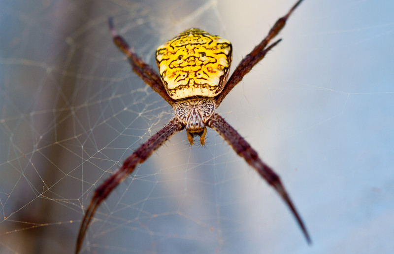 St Andrew's Cross Spider, Kauai Hawaii