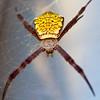 St Andrew's Cross Spider, Kauai Hawaii