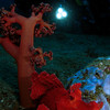 Rhinopia eschmeyeri- diver discovers the holy grail of critters