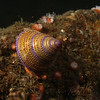 Jewel ringed turbin snail