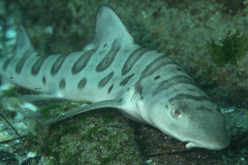 Juvinile leopard shark<br /> Shaws cove