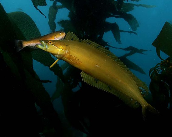 Golden kelpfish being cleanned by a senorita<br /> Catalina Dive Park