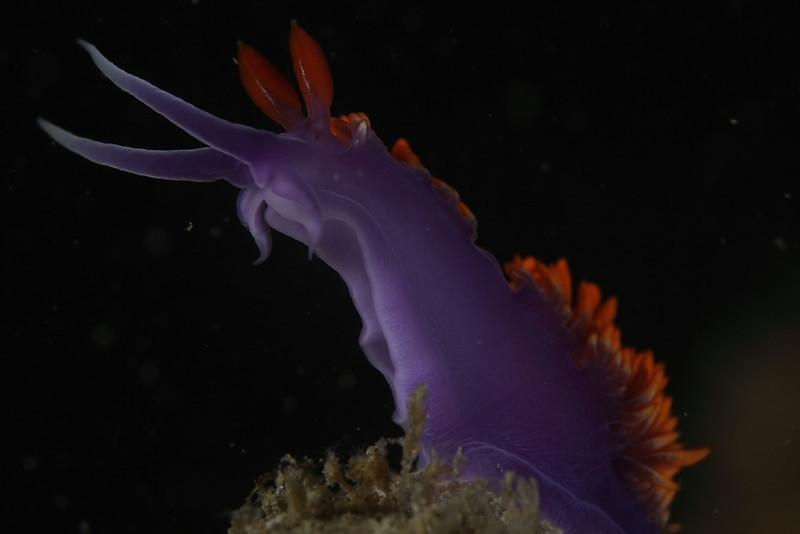 Spanich shawl, Nudibranch<br /> Anacapa Island