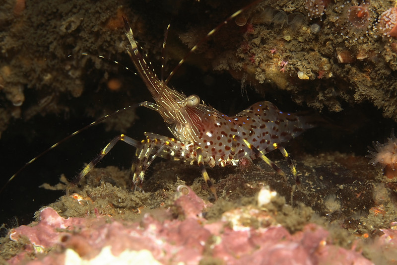 Coon striped shrimp<br /> point loma