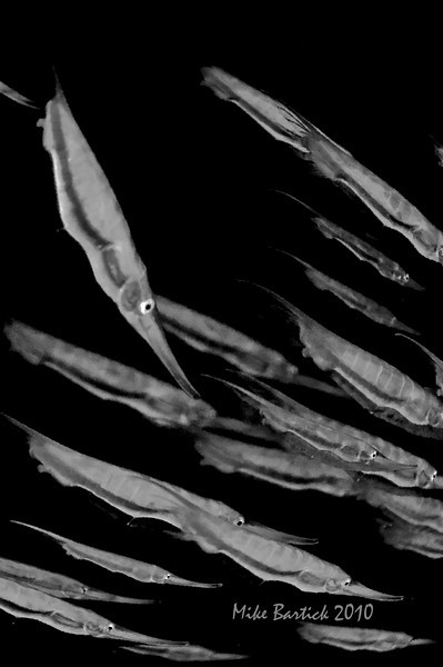 Shrimp fish-highly reflective, in the shallows, You can sea the ripple effect of the water/wunlight webbing. The actually resemble shooling squid like this, perhaps a defensive evolutionary process