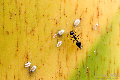 Crematogaster sp. tending to whitefly nymphs under a bamboo sheath.  Icononzo, Tolima, Colombia