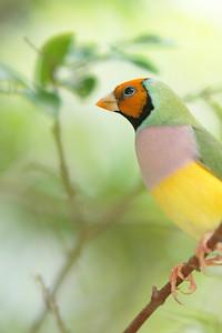 Lady Gouldian finch, Australia.