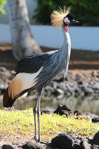 Grey crowned crane, Waikoloa.