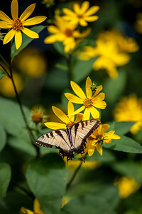 Swallowtail & Cutleafs