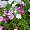 Beautiful Flowers in Vail Colorado 2