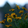 Summer Evening / Coreopsis