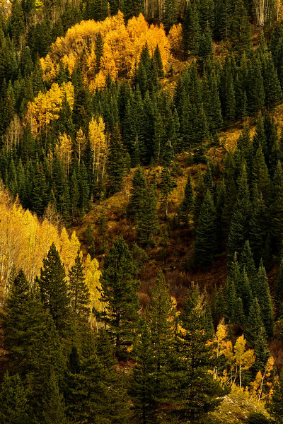 Dark conifers set off the glow of aspens on Highway 550.<br /> Photo © Cindy Clark