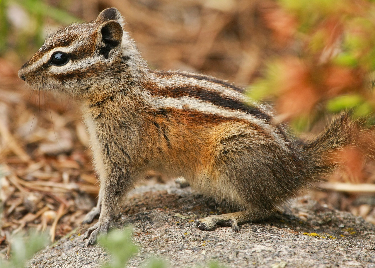 Least Chipmunk in Horseshoe Park