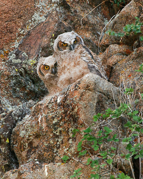 Great Horned Owlets in Estes Park
