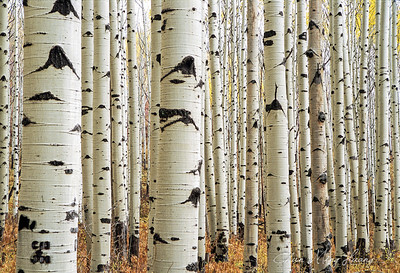 Clustered Aspens Near Telluride, Colorado Aspens集群 科羅拉多州