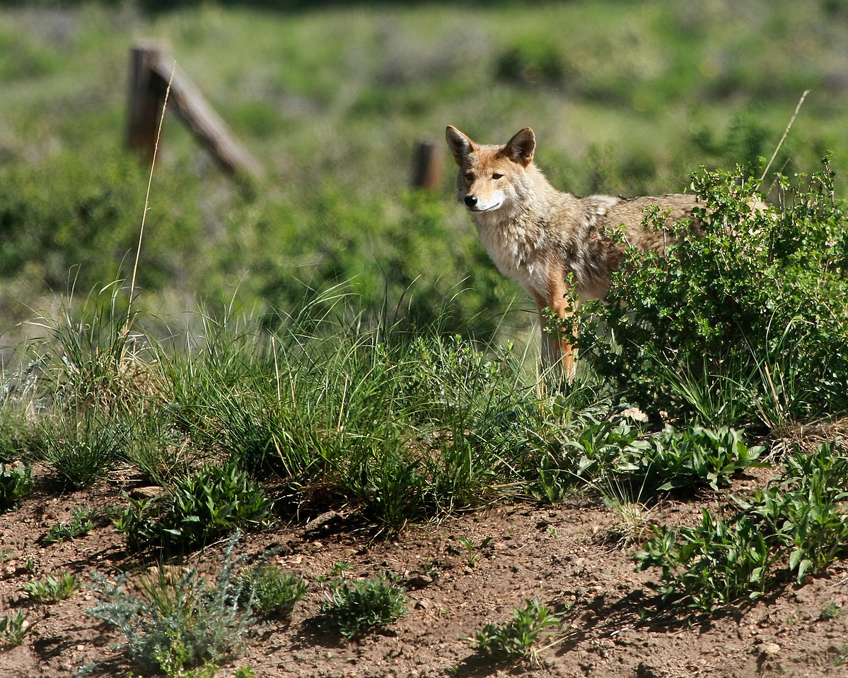 Coyote Mom near Beaver Meadows Visitor Center