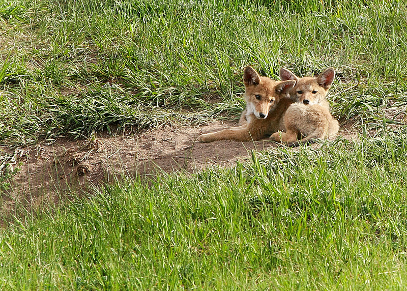 Coyote Pups lazing out near the Den at Beaver Meadows Visitor Center