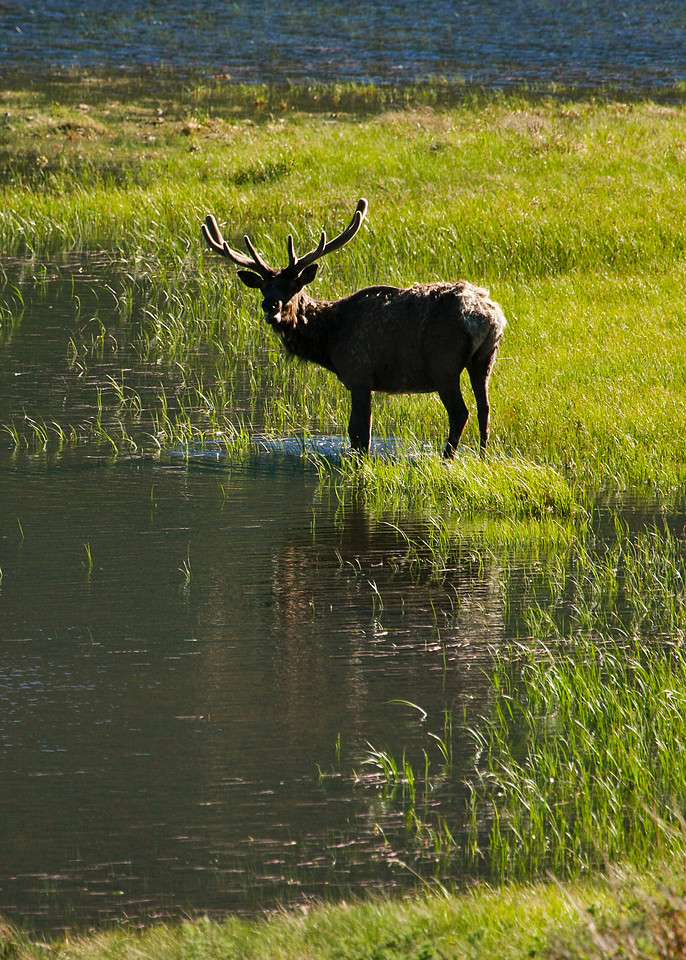 Bull Elk in Horseshoe Park at Sheep's Lake