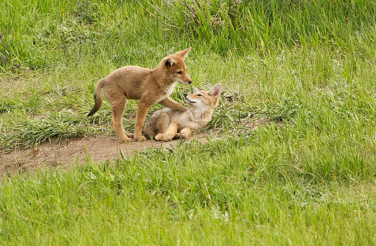 Coyote Pups playing near Beaver Meadows Visitor Center