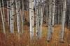 Aspen trunks