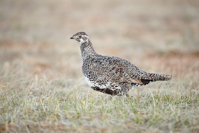 Female Greater Sage Grouse