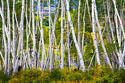 Weaving Aspens Last Dollar Road.  Near Telluride, CO Please visit: http://www.youtube.com/watch?v=6VzZzQ04EQY for my video journey.