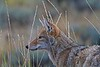 A local coyote scopes his next meal near the north rim of the Black Canyon of the Gunnison.<br /> Photo © Carl Clark