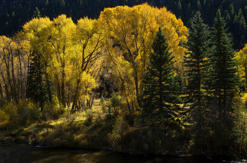 A lovely grove of cottonwoods along Highway 160, below Wolf Creek Pass.<br /> Photo © Cindy Clark