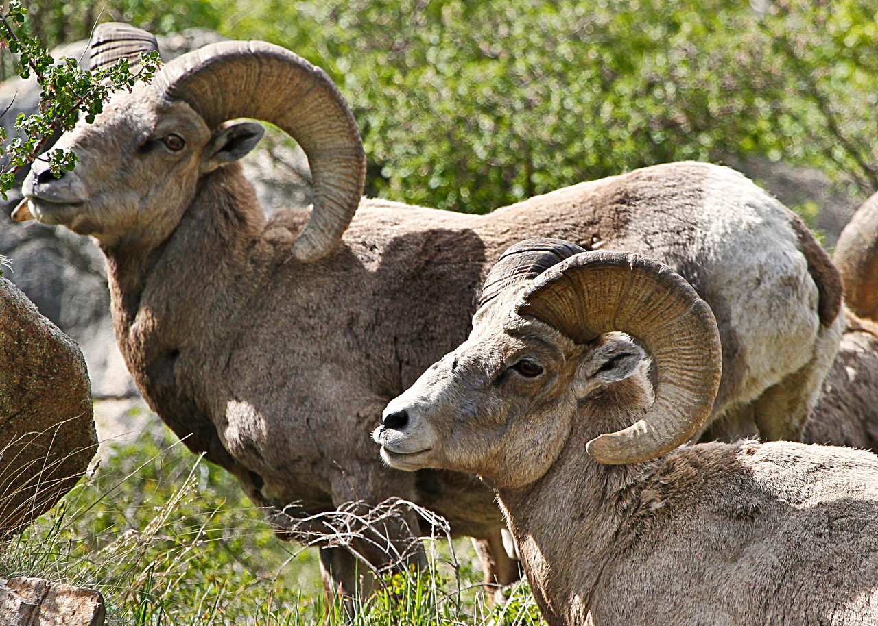 Bighorn Sheep in Georgetown Colorado