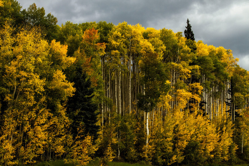 An impending storm sets off the colors of these aspens near Durango.<br /> Photo © Cindy Clark