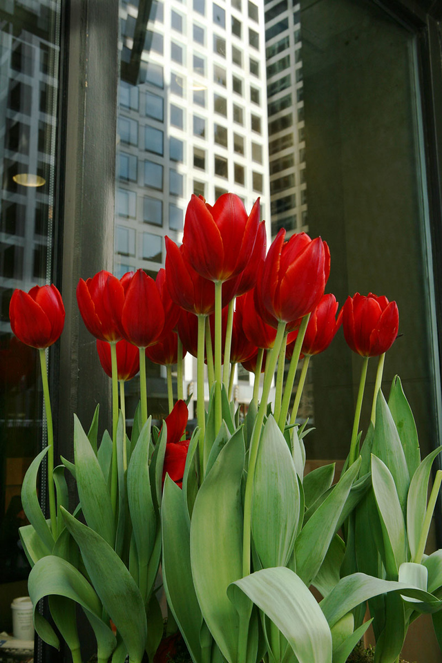 Red Tulips on Michigan Ave