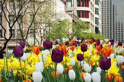 Michigan Avenue Tulips