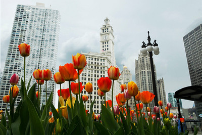 Chicago tulips and Wrigley tower