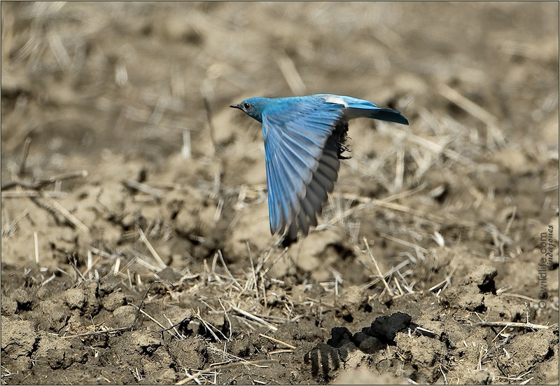 You can see the difference in the Mountain Bluebird and the Western one. There is a lighter blue blended with the vivid, and no buff or rufous colorings. They are also much more shy to humans.