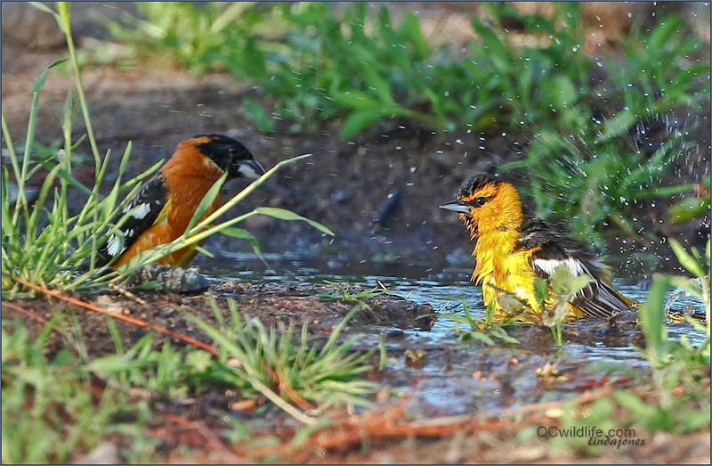 I couldn't believe my eyes, I pulled over to see if any birds would come around to bathe at a leaky Fire hydrant, and out came, a Hooded oriole, a Bullocks Oriole, a Western Tanager, and a Black Headed Grosbeak! I guess I deserved a day off with my back hurting. ;) Went 3 times!